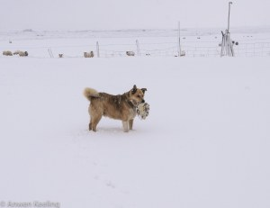 Despite the snow, Happy the dog.. is always happy and keen to play!