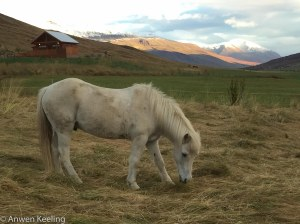 My favorite scruffy white Icelandic horse